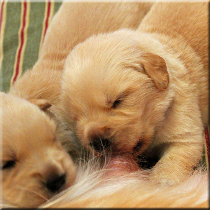 Golden Retriever Breeders Of Tennessee Check Here For Quality Golden Retriever Puppies In The Nashville Tn Area