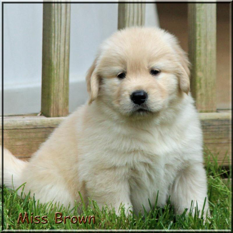 Golden Retriever Breeders of Tennessee