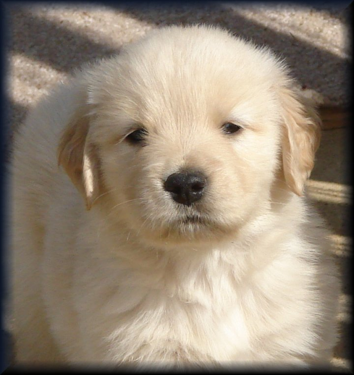 "Golden Retriever Breeders of Tennessee ""Check here for Quality ..."